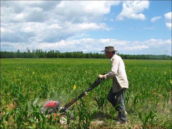 Γιγαντιαίος λαβύρινθος σε φυτεία καλαμποκιού (1)