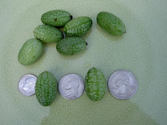 Το μικρότερο καρπούζι του κόσμου (3)