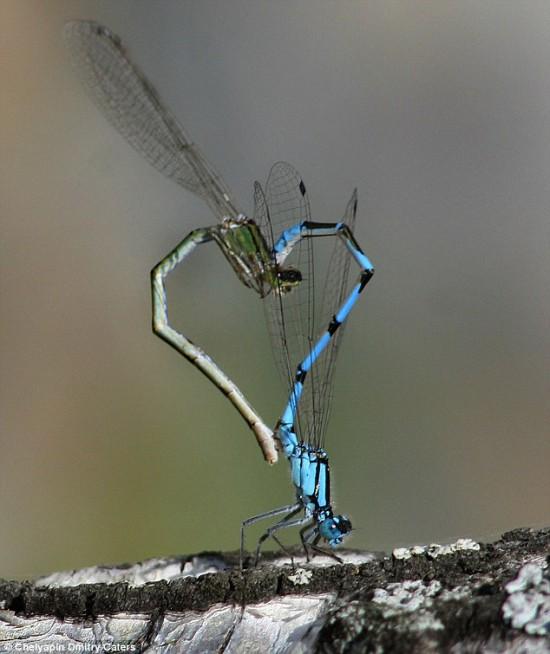 Φωτογραφία της ημέρας: Dragonfly Love