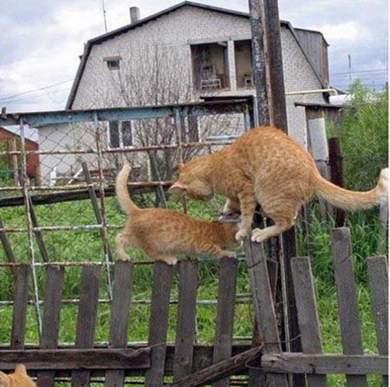 Δύο γάτες σε ένα φράχτη (1)