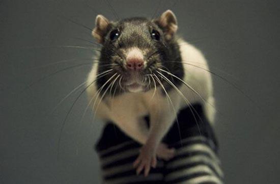 Bug: ο πιο χαριτωμένος αρουραίος στο Internet (10)