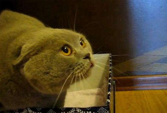 Γάτα «βουδιστής μοναχός» που μιλάει