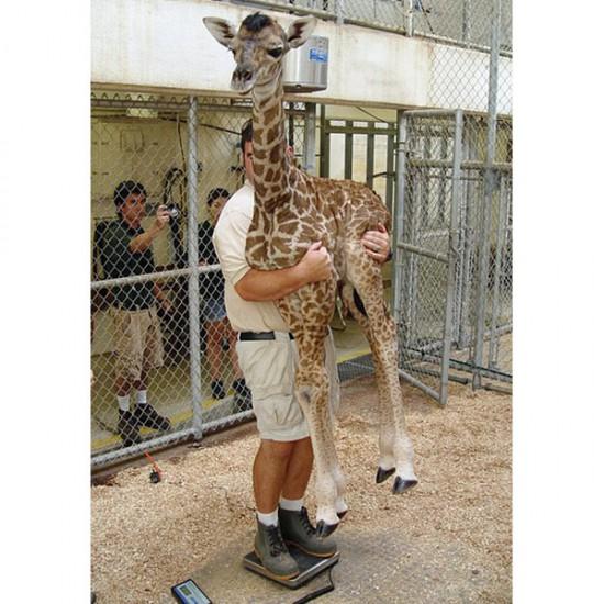 Φωτογραφία της ημέρας: Πως ζυγίζεται ένα μωρό καμηλοπάρδαλη