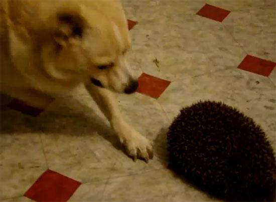 Όταν ο σκύλος συνάντησε το σκατζόχοιρο