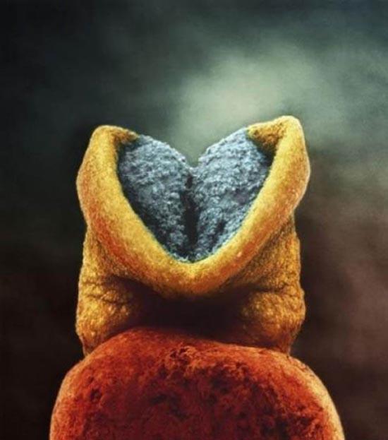 Η διαδικασία γονιμοποίησης σε συγκλονιστικές macro φωτογραφίες (10)