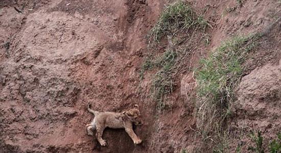 Δραματική διάσωση μικρού λιονταριού