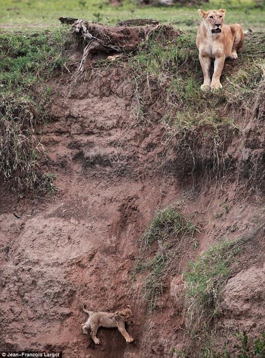 Δραματική διάσωση μικρού λιονταριού (1)