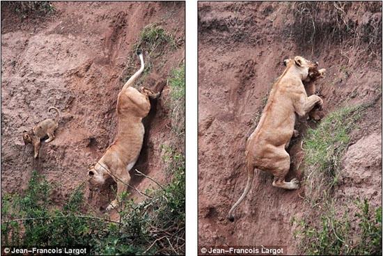 Δραματική διάσωση μικρού λιονταριού (3)