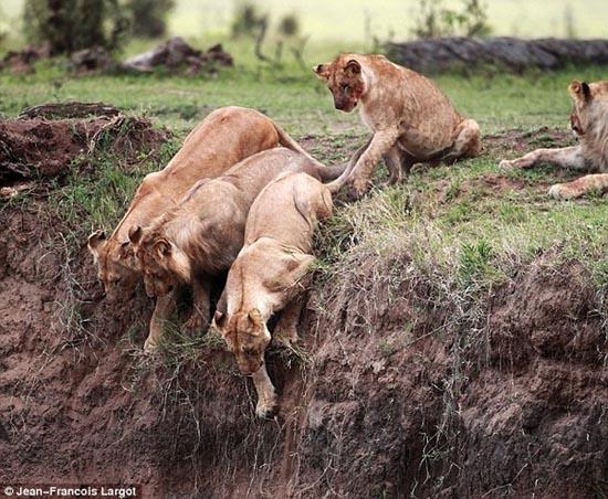 Δραματική διάσωση μικρού λιονταριού (2)