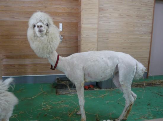 Έχετε δει ποτέ γυμνό Alpaca; (2)
