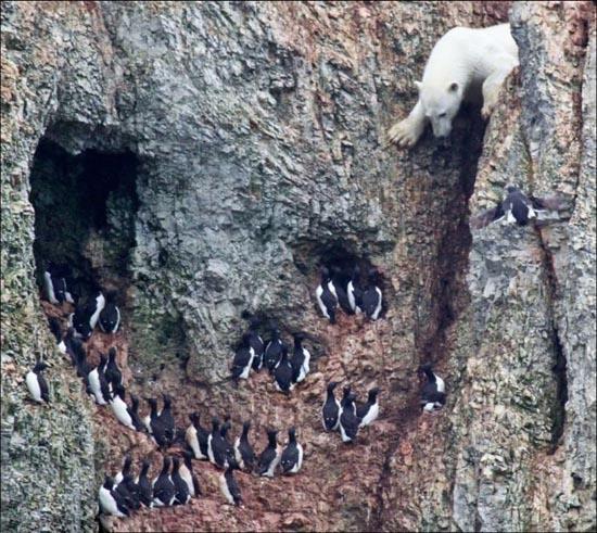 Που μπορεί να φτάσει μια πεινασμένη αρκούδα; (2)