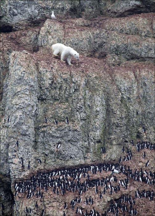 Που μπορεί να φτάσει μια πεινασμένη αρκούδα; (3)