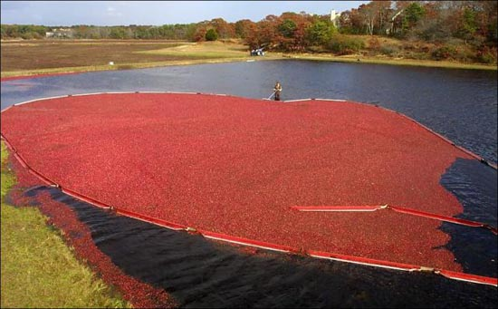 Εντυπωσιακή διαδικασία συλλογής cranberries (2)