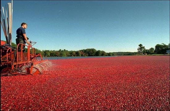 Εντυπωσιακή διαδικασία συλλογής cranberries (3)