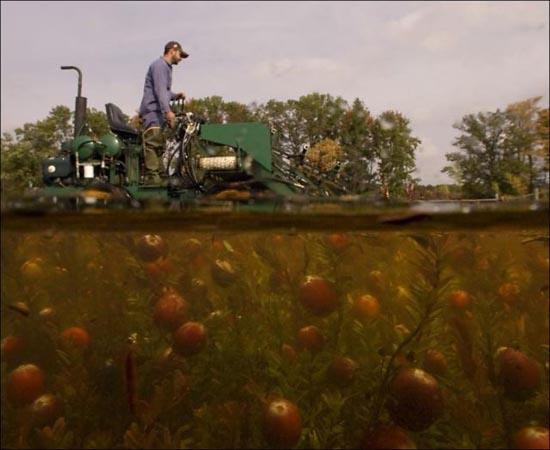 Εντυπωσιακή διαδικασία συλλογής cranberries (4)