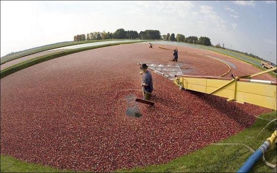 Εντυπωσιακή διαδικασία συλλογής cranberries (7)