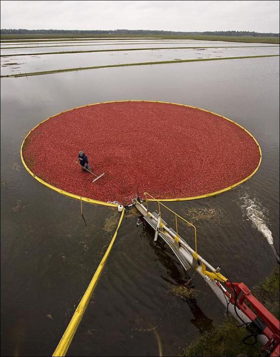 Εντυπωσιακή διαδικασία συλλογής cranberries (8)