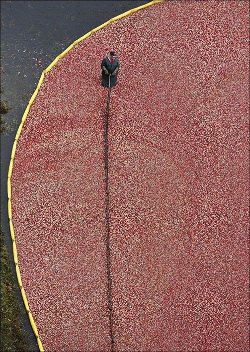 Εντυπωσιακή διαδικασία συλλογής cranberries (9)