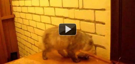 Γάτα που χτυπάει το κουδούνι