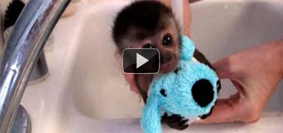 Μαϊμουδάκι κάνει μπάνιο
