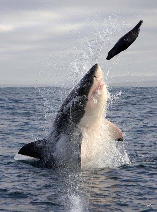 Όταν ο μεγάλος λευκός καρχαρίας βγαίνει για κυνήγι (1)