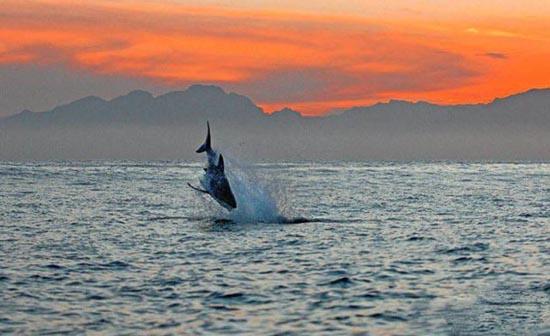 Όταν ο μεγάλος λευκός καρχαρίας βγαίνει για κυνήγι (2)