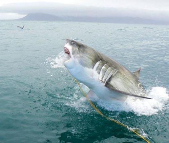 Όταν ο μεγάλος λευκός καρχαρίας βγαίνει για κυνήγι (3)