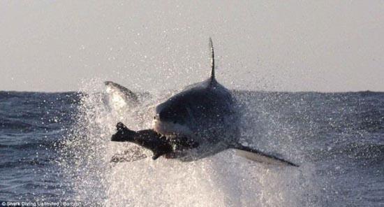 Όταν ο μεγάλος λευκός καρχαρίας βγαίνει για κυνήγι (4)