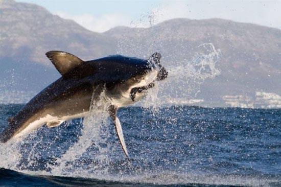 Όταν ο μεγάλος λευκός καρχαρίας βγαίνει για κυνήγι (5)