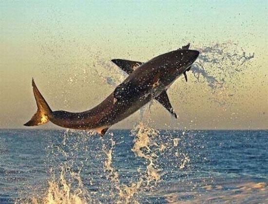 Όταν ο μεγάλος λευκός καρχαρίας βγαίνει για κυνήγι (6)