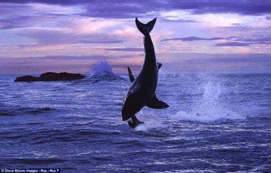 Όταν ο μεγάλος λευκός καρχαρίας βγαίνει για κυνήγι (7)