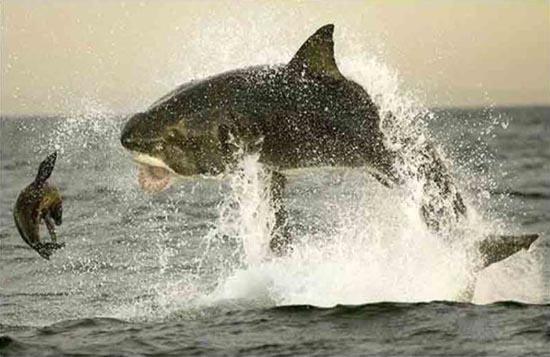 Όταν ο μεγάλος λευκός καρχαρίας βγαίνει για κυνήγι (8)