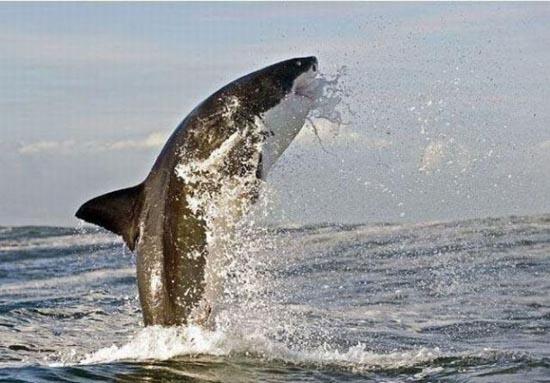 Όταν ο μεγάλος λευκός καρχαρίας βγαίνει για κυνήγι (9)