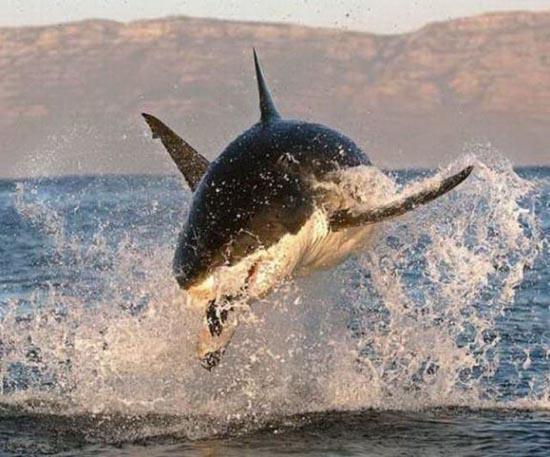 Όταν ο μεγάλος λευκός καρχαρίας βγαίνει για κυνήγι (10)