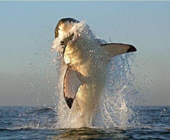 Όταν ο μεγάλος λευκός καρχαρίας βγαίνει για κυνήγι (11)