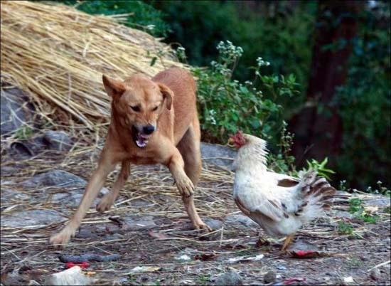 Πότε μη τα βάζεις με μια κότα... (2)