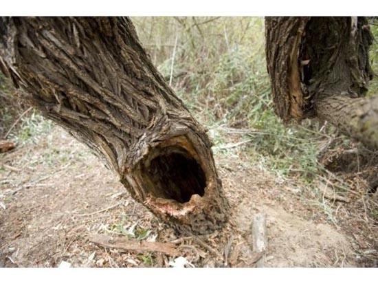 Τον βρήκαν σφηνωμένο μέσα σε ένα δένδρο (4)