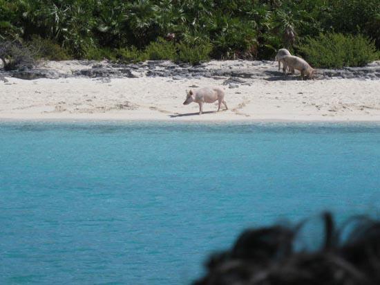 Ασυνήθιστοι τουρίστες στις Μπαχάμες (3)