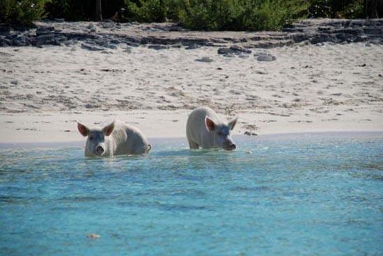 Ασυνήθιστοι τουρίστες στις Μπαχάμες (20)