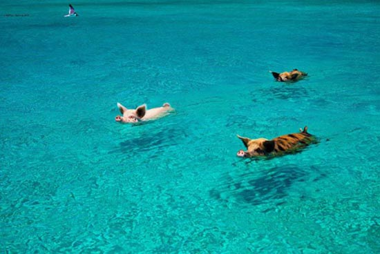 Ασυνήθιστοι τουρίστες στις Μπαχάμες (28)