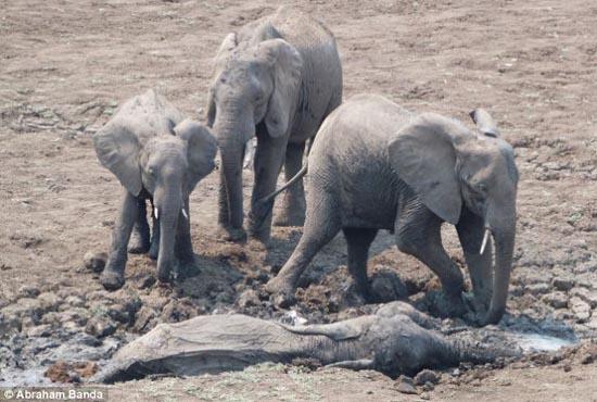 Δραματική διάσωση μωρού ελέφαντα και της μητέρας του (1)