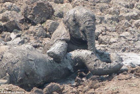 Δραματική διάσωση μωρού ελέφαντα και της μητέρας του (2)