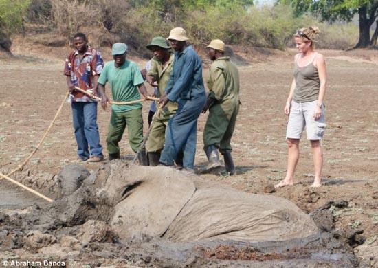 Δραματική διάσωση μωρού ελέφαντα και της μητέρας του (3)