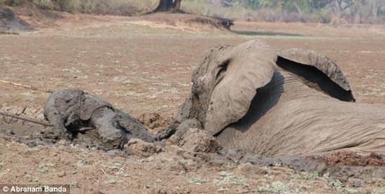 Δραματική διάσωση μωρού ελέφαντα και της μητέρας του (4)