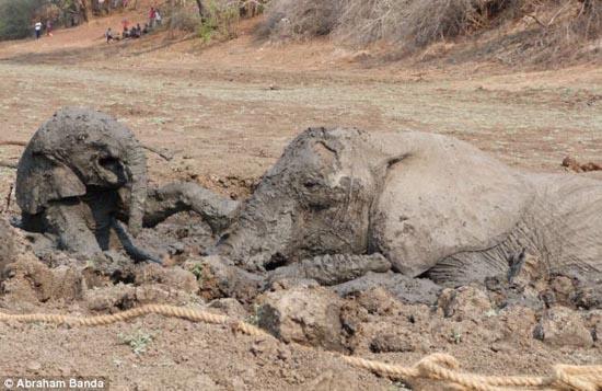 Δραματική διάσωση μωρού ελέφαντα και της μητέρας του (5)