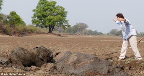 Δραματική διάσωση μωρού ελέφαντα και της μητέρας του (8)