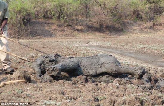 Δραματική διάσωση μωρού ελέφαντα και της μητέρας του (9)