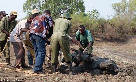 Δραματική διάσωση μωρού ελέφαντα και της μητέρας του (10)