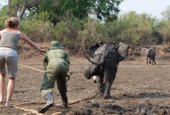 Δραματική διάσωση μωρού ελέφαντα και της μητέρας του (11)