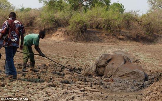 Δραματική διάσωση μωρού ελέφαντα και της μητέρας του (12)